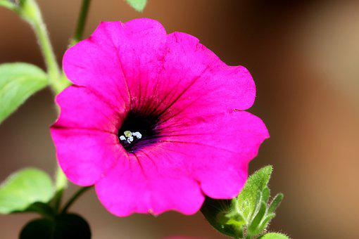 Petunia, Flower, Pink Flower, Petals, Pink Petals