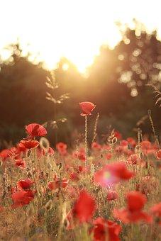 Poppies, Flowers, Garden, Buds, Sunset, Blossom, Bloom