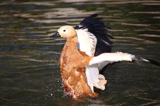 Ruddy Shelduck, Duck, Bird, Lake, Waterfowl, Water Bird