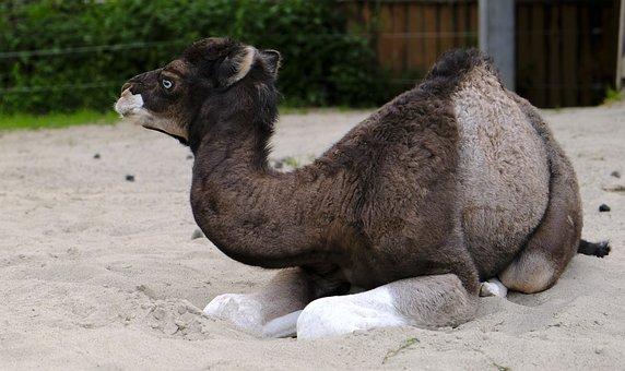 Camel, Calf, Young Animal, Animal, Mammal, Close Up