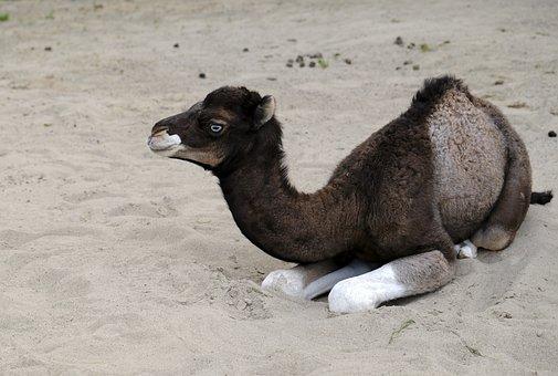 Camel, Calf, Young Animal, Animal, Mammal