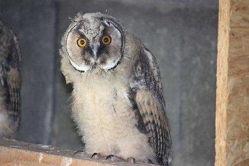 Long-eared Owl, Owl, Bird, Perched, Juvenile