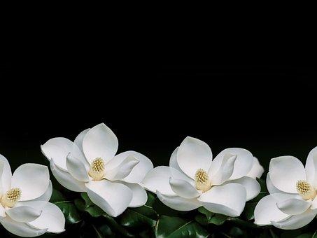 Magnolia, Flowers, Plant, White Flowers, Petals, Bloom
