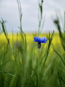 Cornflower, Flower, Plant, Blue Flower, Petals, Bloom