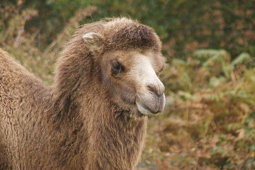 Camel, Animal, Head, Camel Hair, Desert Animal, Mammal