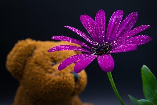 Flower, Aster, Dew, Raindrop, Dewdrops, Teddy Bear