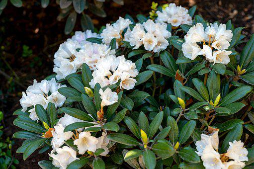 Rhododendron, Flowers, Plant, Azalea, White Flowers