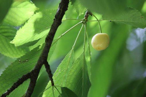 Rainier Cherry, Fruit, Branch, Plant, Cherry