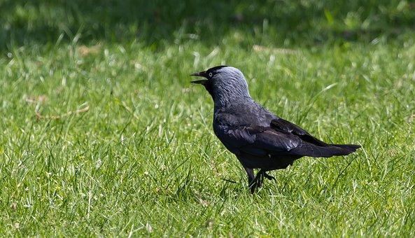 Bird, Jackdaw, Animal, Plumage, Feathers, Beak