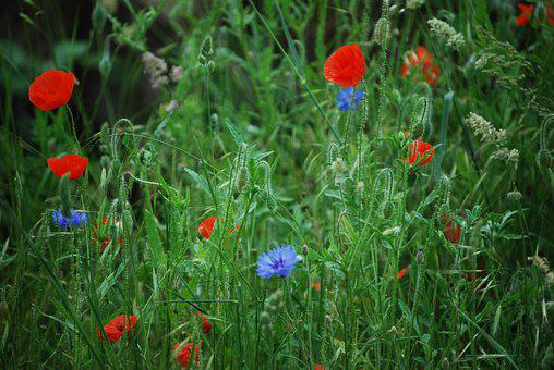 Poppy, Flower, Red Poppies, Meadow, Cornflowers, Petals