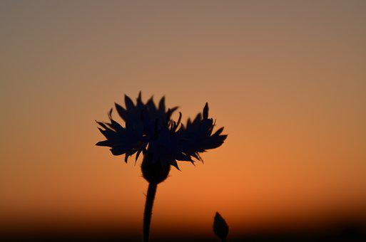 Flower, Cornflower, Silhouette, Sunset, Evening, Nature