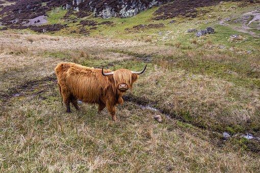 Cow, Scotland, Highland, Animal, Nature, Pasture, Horns