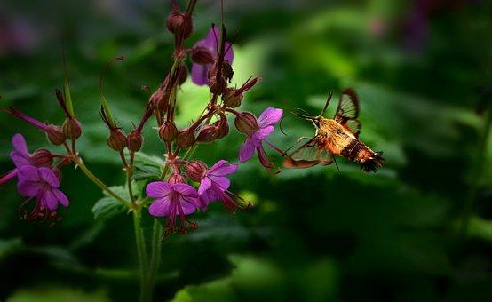 Sphinx Moth, Insect, Geranium, Moth, Bigroot Geranium