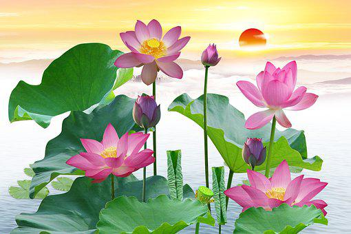 Lotuses, Flowers, Lotus Flowers, Pink Flowers