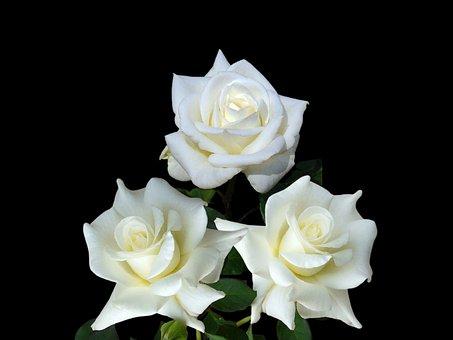 Roses, Flowers, White Roses, White Flowers, Petals