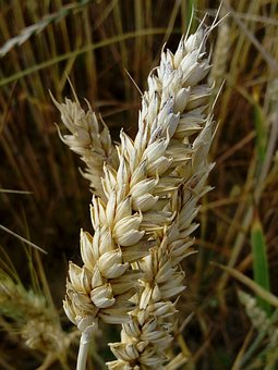 Cereals, Wheat, Field, Crop, Plant, Grains, Farm
