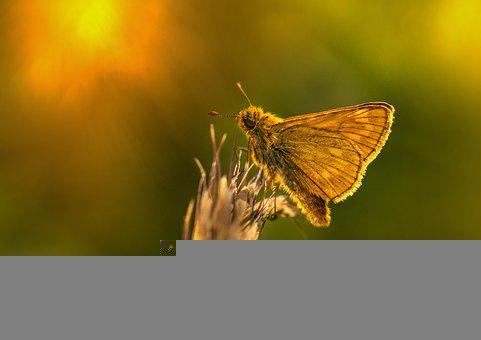Insect, Wings, Essex Skipper, Thymelicus Lineola