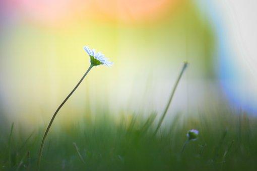 Daisy, Flower, Plant, White Flower, Petals, Bud, Bloom