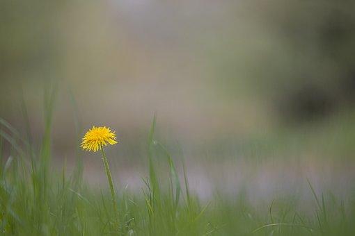 Dandelion, Flower, Plant, Yellow Flower, Bloom, Grass