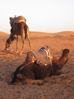 Camels, Desert, Morocco, Sand, Dunes, Dromedary