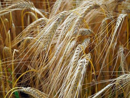 Cereals, Wheat, Field, Crop, Spike, Plants, Farm