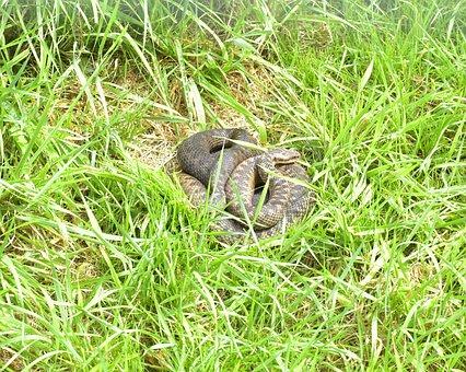 Adder, Vipera Berus, Snake, Gifttig, Small, Nature