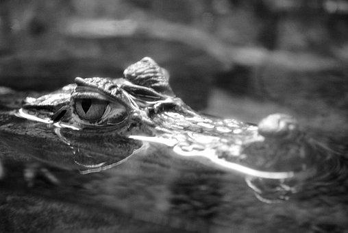 The Eye Of The Crocodile, Aquatic Predator