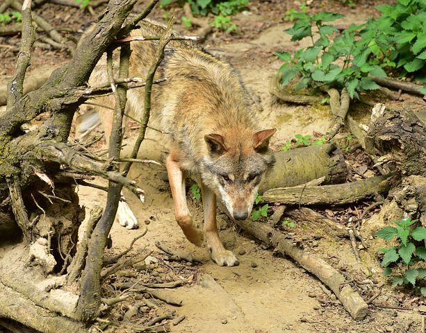 Wolf, Animal, Canis Lupus, Predator, Hunter, Attention