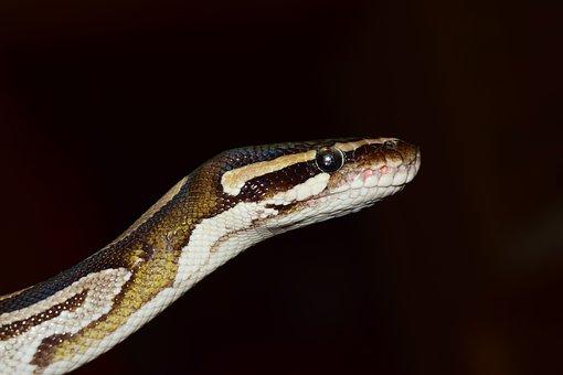 Snake, Ball Python, Python Regius, Beauty, Brown