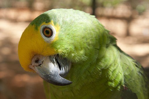 Parrot, Ave, Bird, Animals, Color, Captivity