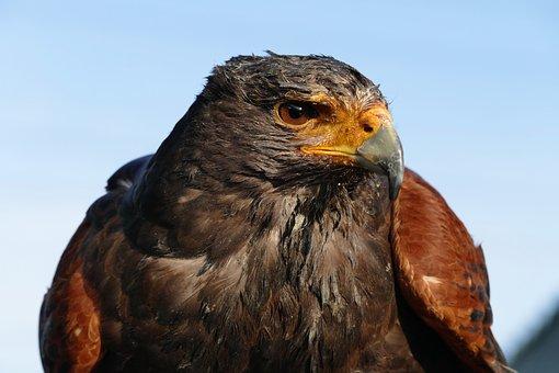 Birds, Prey, Nature, Wild, Hawk, Wildlife, Beak, Animal