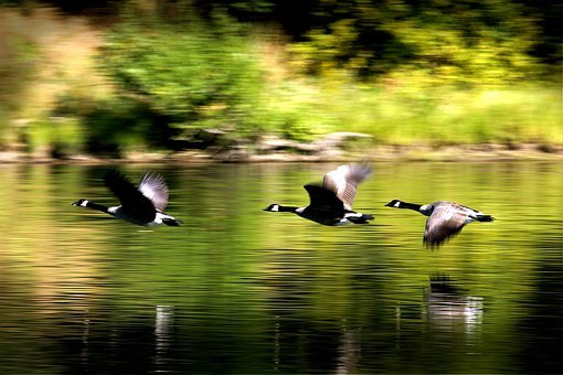 Ducks, Birds, Flying, River, Animal, Wild, Wildlife