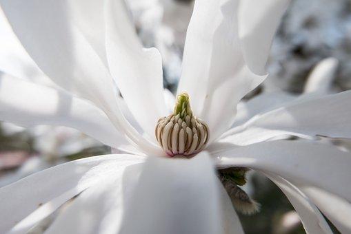 Blossom, Bloom, Spring, White, Nature, Star Magnolia