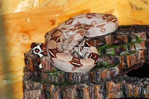 Snake, Boa, Boa Constrictor Imperator, Emperor Boa