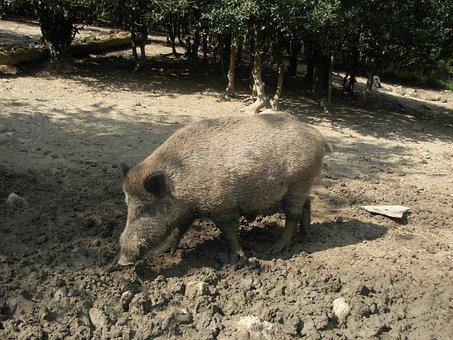 Boar, Animal, Pig, Bristles, Forest, Wild, Nature, Sow