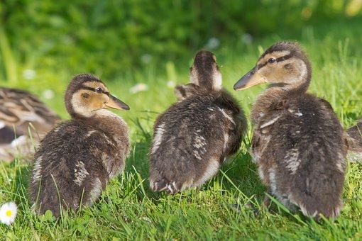 Ducks, Chicken, Water, Plumage, Wildlife Photography