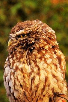 Croaker, Owl, Night Bird, Hunter, Rapid