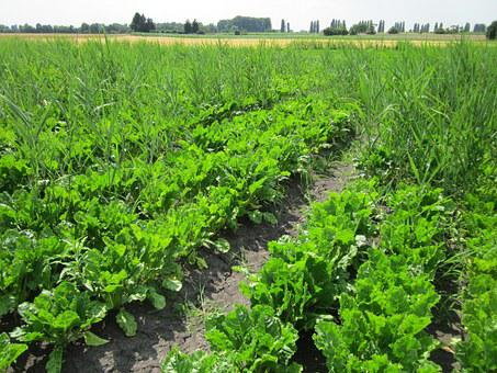 Sugar Beets, Field, Crop, Agriculture, Farming