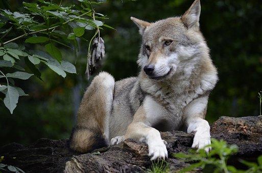 Wolf, Isegrim, Predator, Carnivores, Dangerous, Forest