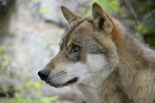 Wolf, Wolf Face, Wild Animal, Dangerous, Snout, Animal