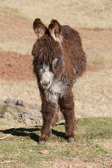 Donkey, Peru, Animal, Baby