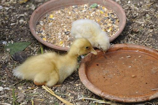 Ducky, Duck, Chicks, Chicken, Nature, Young Animals
