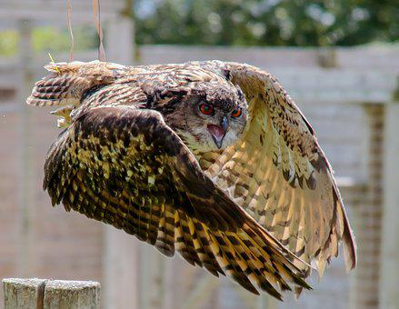 Eagle Owl, Eurasian, Owl, Wildlife, Eagle, Bird, Prey