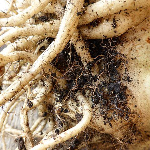Root, Tuber, Earth, Food Vegetables, Celery