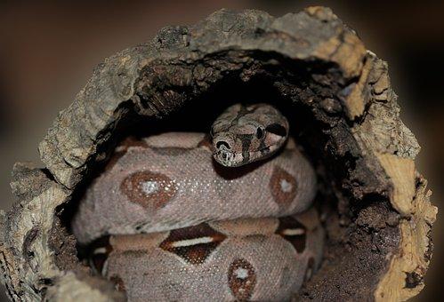 Emperor Snake, Boa, Snake, Boa Constrictor Imperator
