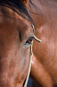 Horse, Eye, Portrait, Horse Head, Brown, Animal, Gentle