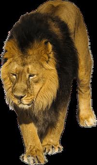 Lion, Wild, Animal, Wildlife, Africa, Cat, Leo, Feline