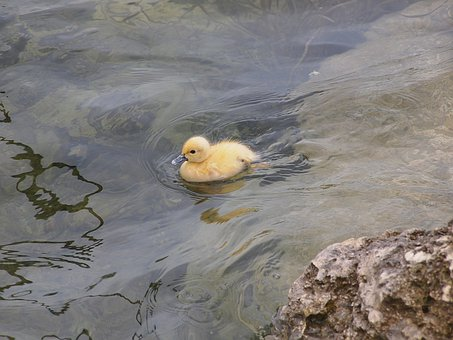 Duck, Duckling, Fowl, Water Foul, Baby, Lost, Ducky