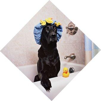 Black Lab, Labrador, Dog, Funny, Bath Time