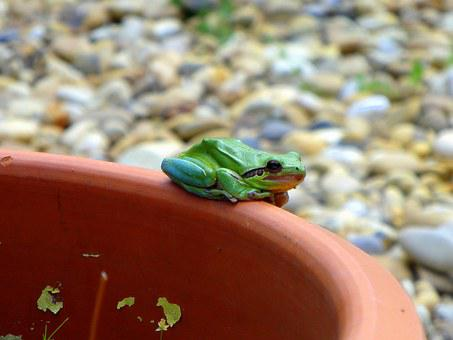 Frog, Green Frog, Amphibian, Green, Animal, Nature